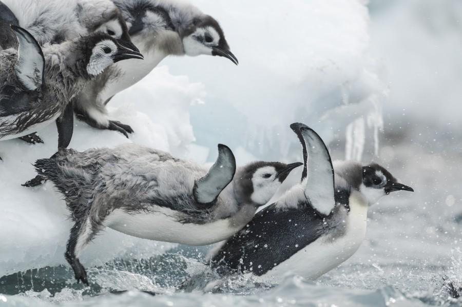 Le premier saut des jeunes Empereur à l'eau ©Vincent Munier_Expédition Wild-Touch Antarctica!