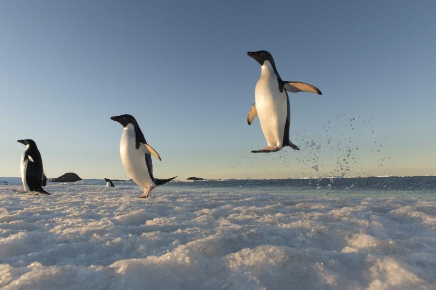 Manchots Adélie de retour de pêche ©Vincent Munier_Expédition Wild-Touch Antarctica!