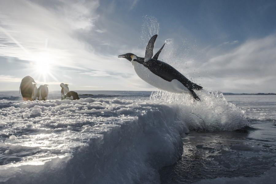 Manchot-Empereur-de-retour-de-peeche-Vincent-Munier_Expedition-Wild-Touch-Antarctica-900x600