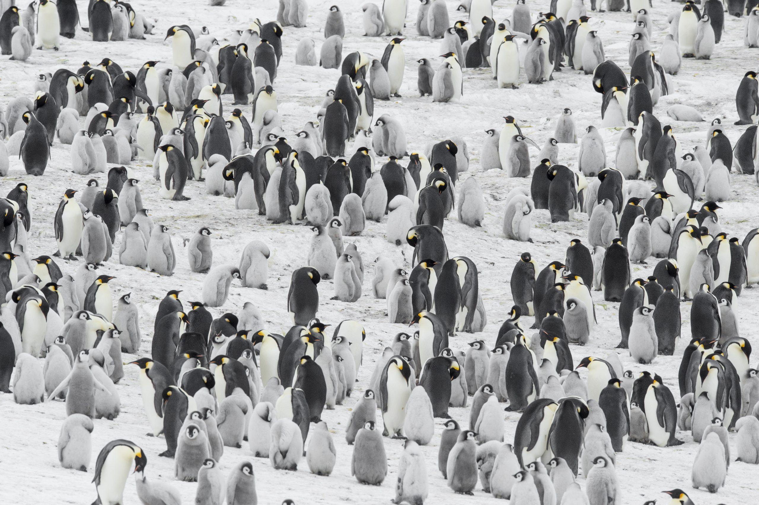 La colonie des manchots Empereur ©Vincent Munier_Expédition Wild-Touch Antarctica!